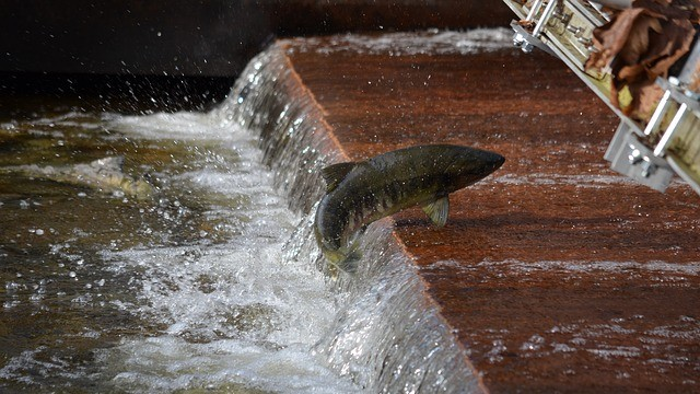 saumon pisciculture