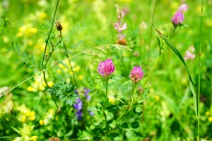 red-clover-1464761_1280